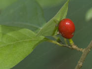 Spicebush Identified